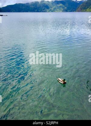 Duck swimming on lake in Olympic National park, Washington - Stock Photo