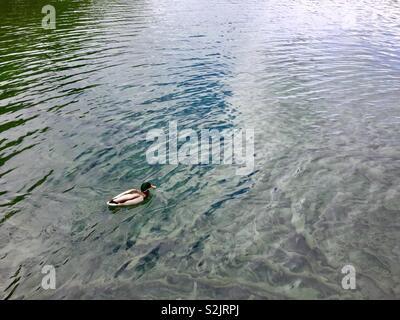 Duck swimming in lake - Stock Photo