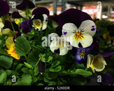 Bowlful of Fresh yellow and purple pansies on display and for sale. - Stock Photo