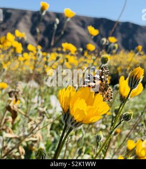 A Painted Lady butterfly rests on a yellow flower during the superbloom in the desert of California.sm - Stock Photo