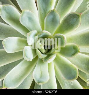 A close up of a green and lush succulent plant in a square frame with copy space - Stock Photo