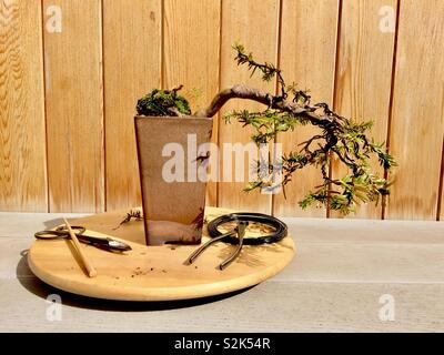 Yew Bonsai semi-cascade on turntable with tools - Stock Photo