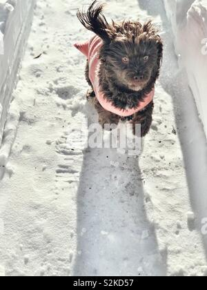 Dog wearing a pink sweater running though a plowed trail in the backyard - Stock Photo