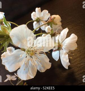 Close up of cherry blossoms in front of black background - Stock Photo