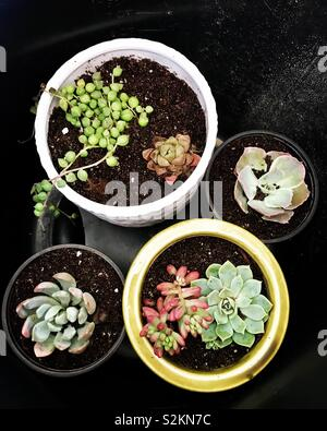 Unique succulent plants in white, black and green pots. Aerial view. Green and pastel plants and string of pearls - Stock Photo