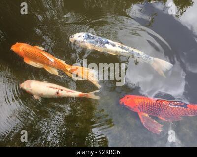 Orange and white koi fish swimming in pond - Stock Photo