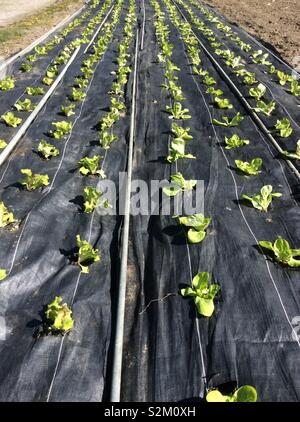 young baby green leaf lettuce growing in rows outdoors in black plastic mulch - Stock Photo