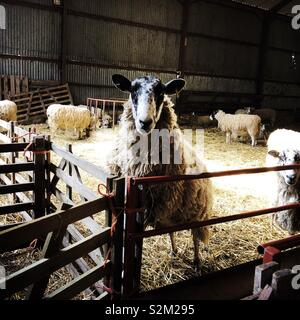 North Country Mule ewe standing up on a gate, United Kingdom - Stock Photo