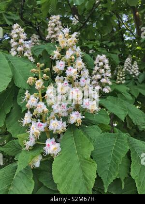 A horse chestnut (Aesculus hippocastanum) tree in flower. - Stock Photo