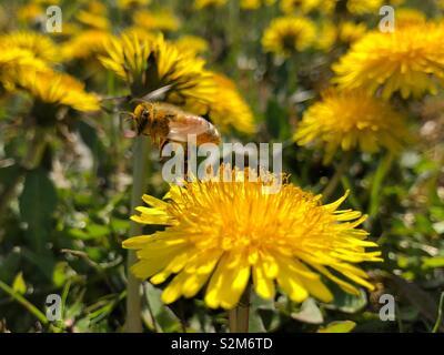 Honeybee covered in pollen taking flight from a wild flower dandelion - Stock Photo