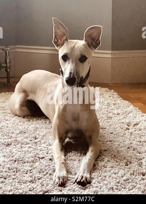 Jesse the whippet dog sitting on a rug, looking alert with his ears raised up - Stock Photo