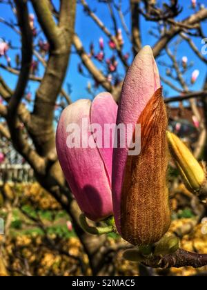 Magnificent showy beautiful pink and white Magnolia flower buds on a sunny spring day as a sign of spring. - Stock Photo