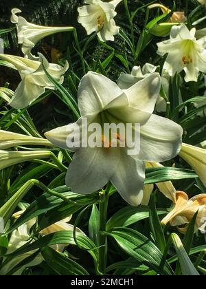 Fresh beautiful Easter Lily growing in the garden. - Stock Photo