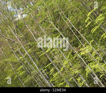 Abstract diagonal - trunks European beech forest - Stock Photo