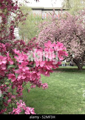 Prairie fire crabapple tree in full bloom in Madison Square, Park in the spring time, NYC,USA - Stock Photo