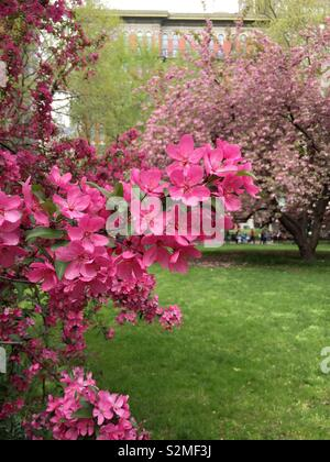 Prairie fire crabapple tree is in full bloom in Madison Square, Park in the spring time, New York City, United States - Stock Photo