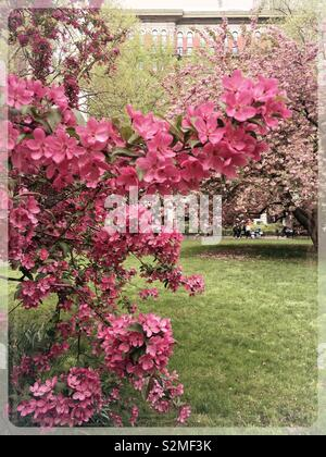 Prairie fire crabapple tree is in full bloom in Madison Square, Park, New York City, USA - Stock Photo