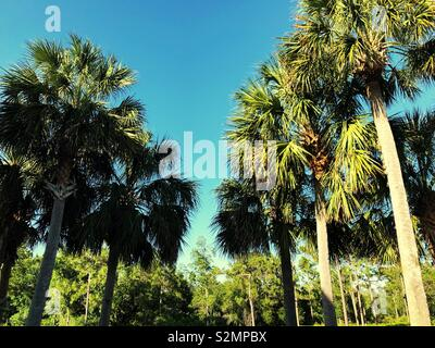 Row of palm trees on Florida ear Cape Canaver - Stock Photo