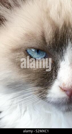 Blue eyed kitten - Stock Photo