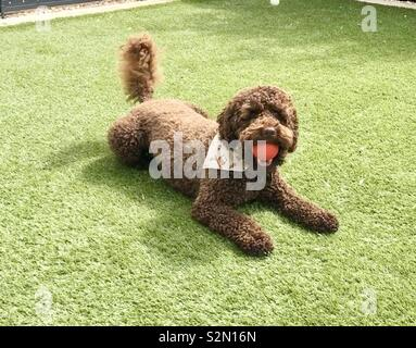 Henry the Cockerpoo - Stock Photo