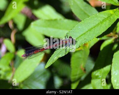 Braune Libelle auf Blatt - Stock Photo