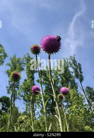 Towering milk thistles in bloom, one with bumblebee. Bright blue sky above. - Stock Photo
