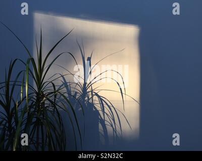 Indoor plant creating strong shadow on wall in evening sun - Stock Photo