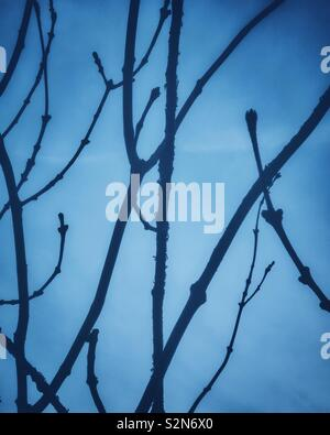 Bare ash tree branches against sky. Blue tone. - Stock Photo