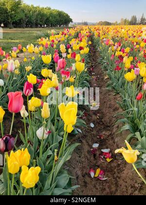 Rose of tulips growing in a field with a stand of trees on the left - Stock Photo