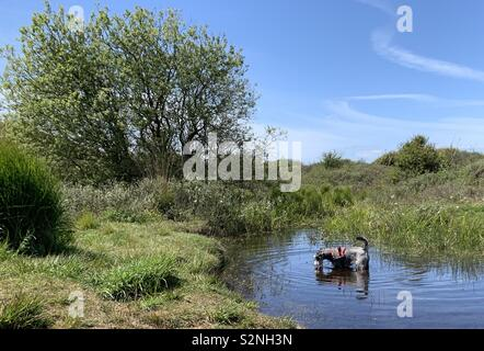 Miniature Schnauzer dog drinking from pool in Kenfig Nature Reserve South Wales - Stock Photo