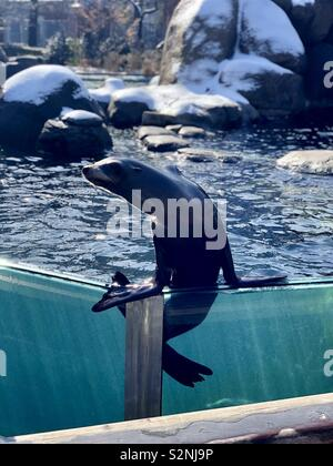 Sea Lion In Central Park Zoo New York - Stock Photo