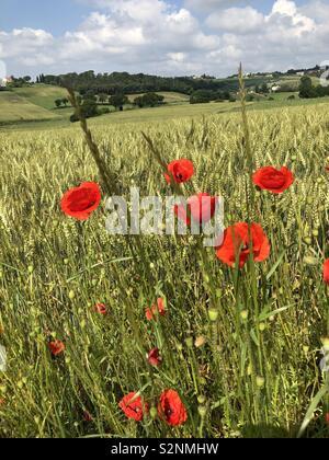 Aspettando l'estate che tarda a venire... campi di grano e papaveri per sentirsi un po' romantici ❤️ - Stock Photo