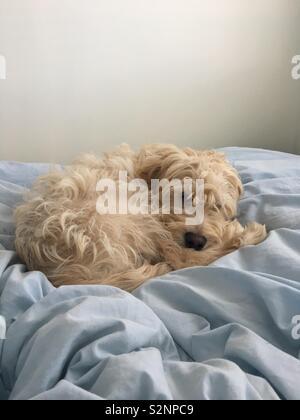 Cute cockerpoo puppy - Stock Photo