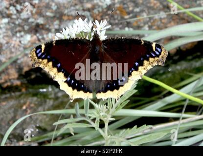 Mourning Cloak Butterfly Nymphalis antiopa - Stock Photo