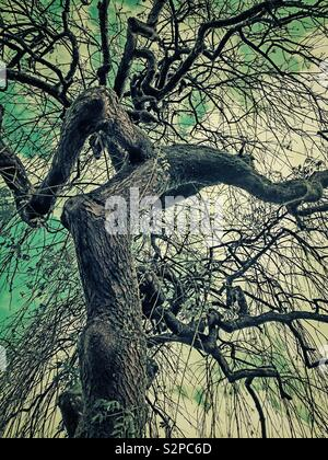 Gnarled trunk and branches of a weeping willow tree in winter. - Stock Photo