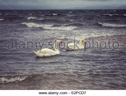 Two swans swimming together in the sea - Stock Photo