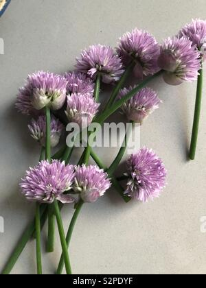 Chive blossoms ready for a recipe. - Stock Photo
