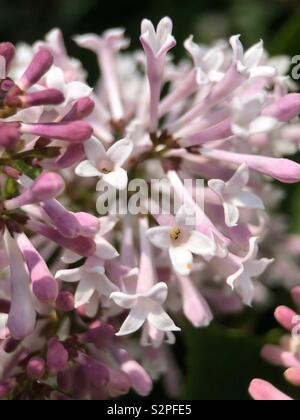 Up close of blooming lilacs - Stock Photo