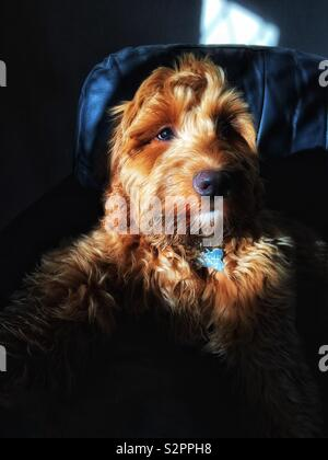 Sunlit moody portrait of a red haired Cockapoo puppy sat on a black background - Stock Photo