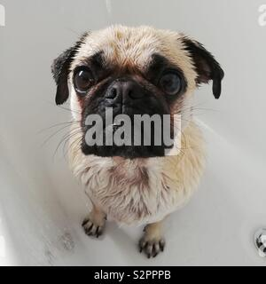 A wet, two-year old, male Pug, sat in the bath after being given a shower by his owner.