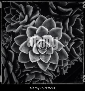 Rose shaped succulent. Black and white photo. - Stock Photo