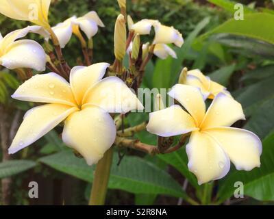 Close up of Plumaria blooms, USA - Stock Photo