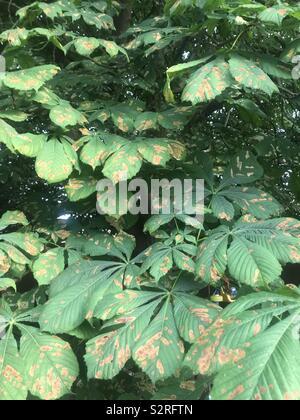 Horsechestnut Conker tree with leaf miner moth damage - Stock Photo
