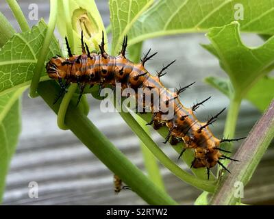 Gulf fritillary caterpillar on a passionflower plant - Stock Photo