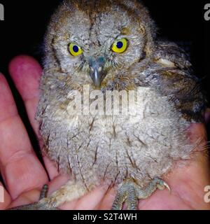 Eurasian Scops Owl (Otus scops) Owlet on hand - Stock Photo