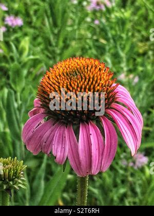 Beautiful pink flower, Echinacea purpurea, eastern purple coneflower, hedgehog coneflower, or purple coneflower. - Stock Photo