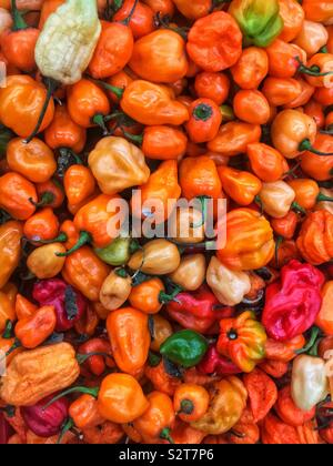 Variety of farm fresh spicy red, orange, yellow, and green habanero peppers. - Stock Photo