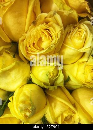 Fresh yellow roses. - Stock Photo