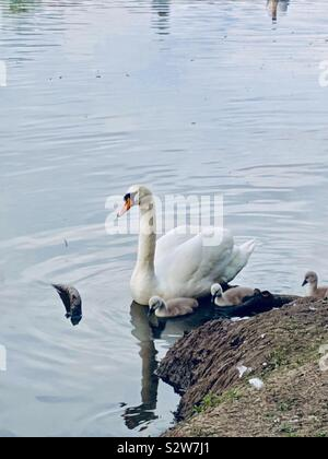 Pen swan swimming with three cygnets in a  lake -  United Kingdom - Stock Photo