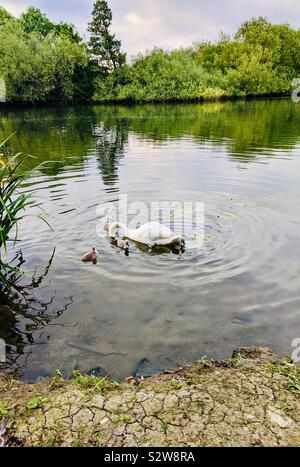 Beautiful scenic view of white pen swan fishing food in lake under water for four cute brown baby cygnets - symbol of natural love of mother among birds - United Kingdom - Stock Photo